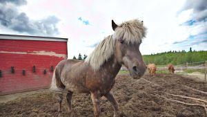 Islanninhevonen Askur on yksi terapiakeskuksen kahdeksasta hevosesta.
