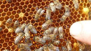 Markku Mykkälä mehiläistarhan mehiläisiä.