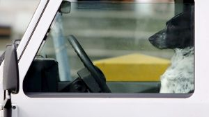Koira istuu kuljettajan paikalla autossa.