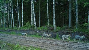 Neljä sudenpentua tallentui metsästysseuran riistakameraan.
