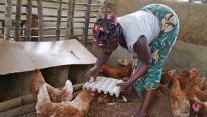 Nainen kerää kanalasta kananmunia.