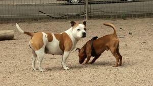 Koiria koirapuistossa.