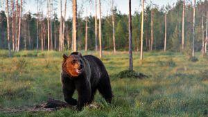 Karhu luonnossa.