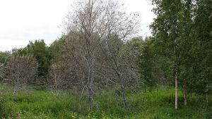 Tuomenkehrääjäkoin toukkien syömiä puita Kemin Karihaarassa.