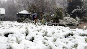 Orangen kaupungin kasvitieteellinen puutarha peittyi lumeen Uuden Etelä-Walesin osavaltiossa 16. heinäkuuta.