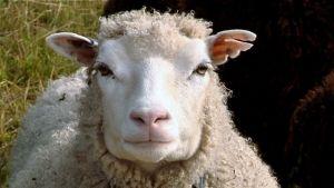 Lammas tuijottaa kameraan.