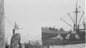 Jääkarhu otti Hesperus-kauppalaivan hinaukseen Russarössä vuonna 1940