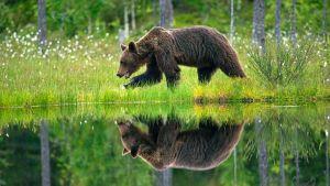 Ilkka Jaakolan karhukuvassa mesikämmen tallustaa metsälammen äärellä.