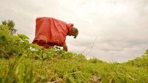 Nainen poimii mansikoita.