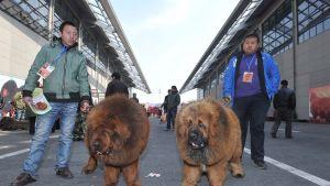 Tiibetin Mastiffeja.