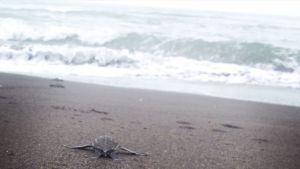 kilpikonnavauvat ryömivät kohti rantaviivaa