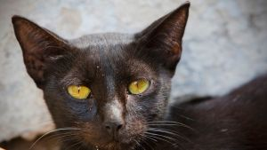 Tumma kissa katsoo kuvaajaa keltaisilla viirusilmillään.