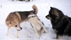 Koirat leikkivät talvella