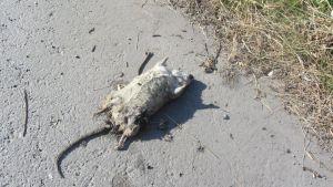 Kuvassa kuollut rotta kadulla