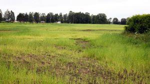 Yli-Kaasilan ohraviljelmä Tervolassa on kärsinyt runsaista sateista.