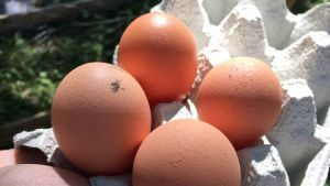 Kananmunat, kotikanala