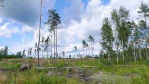 Metsä on hakattu ja arvopuu korjattu ja jäljellä siemenpuusto.
