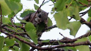 Liito-orava.