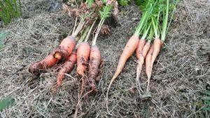 Pietarsaaressa Aspegrenin puutarhassa yritys kasvattaa pikaporkkanoita epäonnistui.