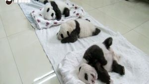 kolme pandan poikasta