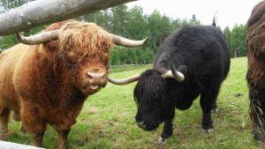 Skotlannin ylämaankarjaa niityllä.
