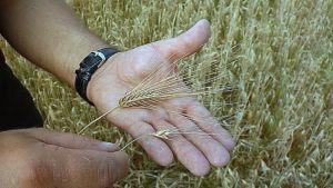 Märkä ja kylmä kesä on aiheuttanut tuhoja viljalle.