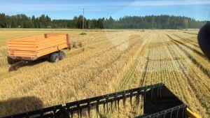 Kun sopiva puintikeli tulee, pellolle yritetään päästä saman tien.
