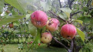 Toukan syömiä omenoita omenapuussa