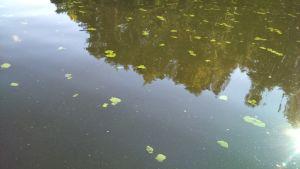 Sinilevää Pien-Saimaalla