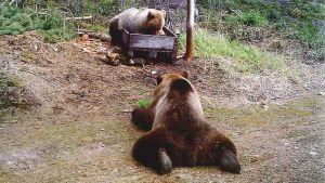 Kuvassa riistakameran ottama kuva:  Kaksi karhua, etualalla oleva rähmällään maassa, toinen taempana ruokalaatikolla