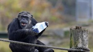 Simpanssi istuu puutasanteella ja pitelee hopeapaperiin käärittyä joululahjaa.