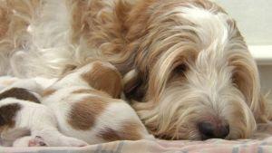 Koiraemo ja pentu lepäävät