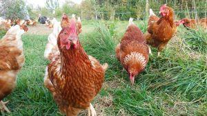 Kuvassa kanat kävelevät pedersöreläisessä omenatarhassa.