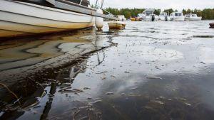 Kuvassa näkyy venen kylkeä,jossa ruskehtavaa väriä, veden pinnalla kasvustoa. Taustalla veneitä laiturissa.