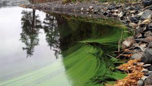 Sinilevää Kallaveden rannassa