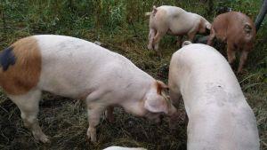 Naurisahon tilan sikoja.