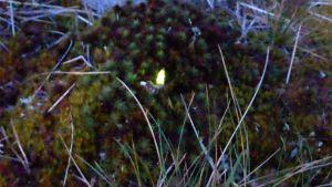 Kiiltomato hohtaa kellertävää valoa sammalikossa.