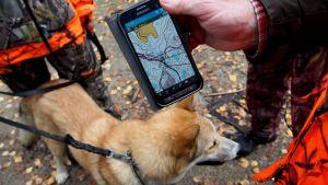 Hirvikoiran liikkeitä metsässä seurataan GPS-paikannuslaitteiden avulla.