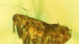 Kirpun fossiili kullankeltaisessa meripihkassa.