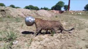 Leopardi, jolla on kattila päässä.