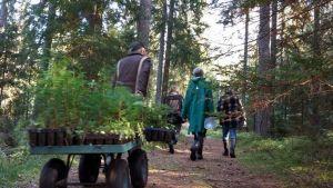 Talkoolaiset vievät taimia istutuspaikalle arboretumissa