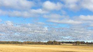 lintuja parveilee pellolla