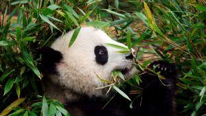 Panda syö bambua Kiinassa.