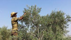 Vapaaehtoiset aktivistit korjaavat satoa arabiviljelijöiden tukena.