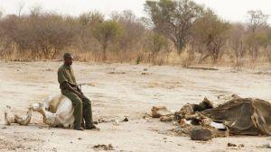 Puistonvartija istuu norsun kallon päällä. Maassa hänen edessään on syanidiin kuolleen norsun jäänteet.