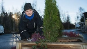 Hortonomi Tiia Ritamäki valmistelee asiakkaalle toimitettavaa istutusta. Tuija, jonka juurella kanervia