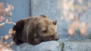 Karhu lepäilee Korkeasaaren Karhulinnassa.