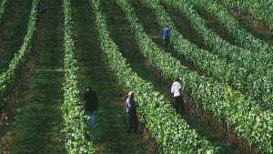 Neljä miestä tarkastelemassa viiniköynnösrivistöjä.