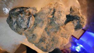 Siperiasta löytynyt luolaleijonan muumio.