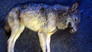 Sonkajärvellä ammuttu pihoissa liikkunut susi